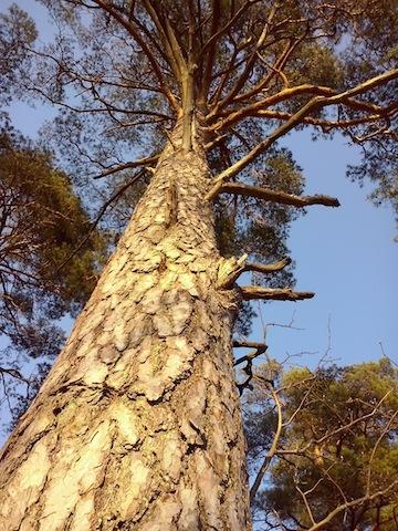 Mänty, honka vai petäjä? Vai Pinus sylvestris? (Kuva: Antti Immonen)