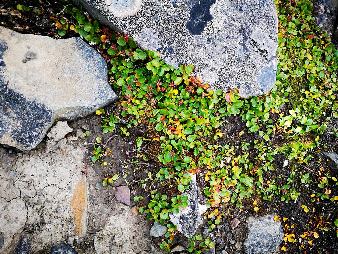 Arktiset kääpiöpajut , Salix herbacea, S. polaris and S. reticulata kasvavat niin matalana, että niitä ei heti tunnista pajuksi.