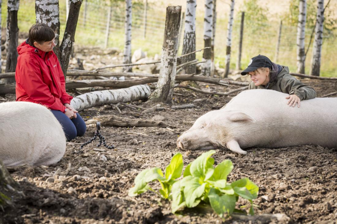 Kuvassa Helena Telkänranta, Piia Anttonen ja makoilevia sikoja.
