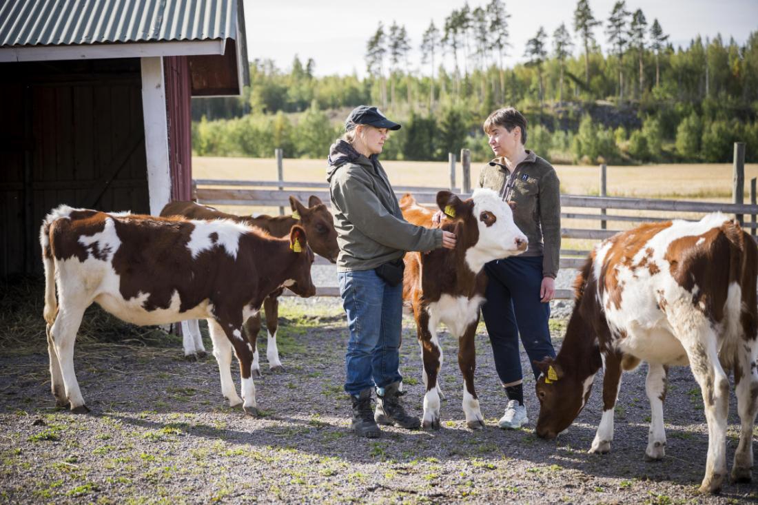 Kuvassa Helena Telkänranta ja Piia Anttonen lehmien ympäröimänä.